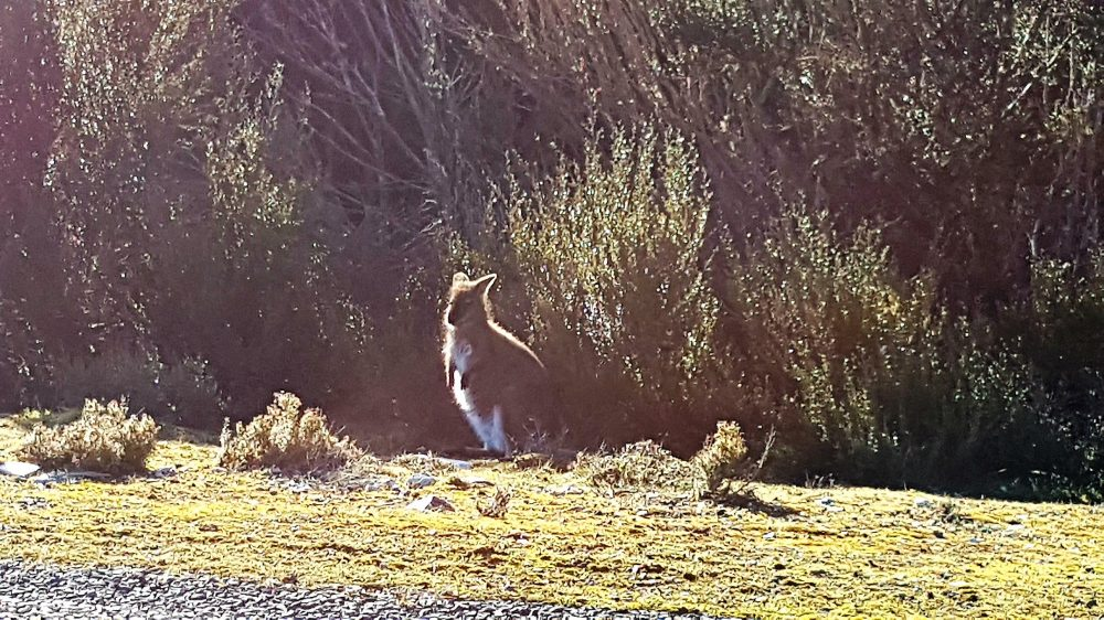 Tasmania Wallaby Roadside