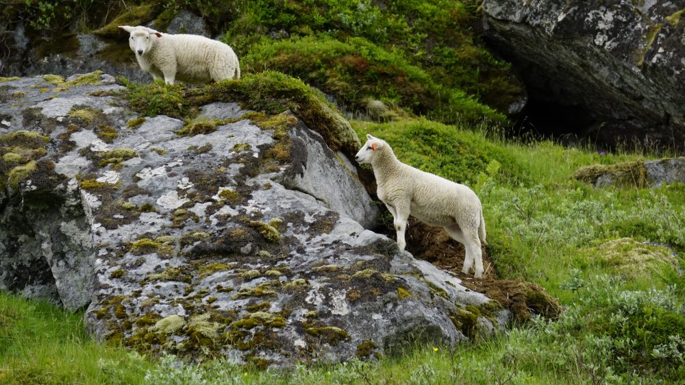 The Lofoten Islands Norway - sheep at Fredvang mountain