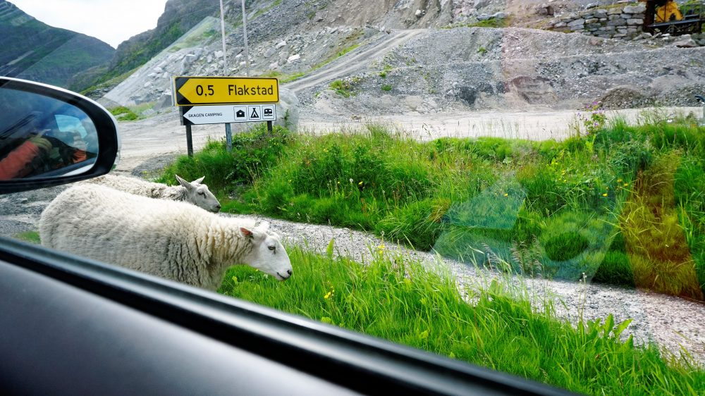 The Lofoten Islands Norway - sheep along the road