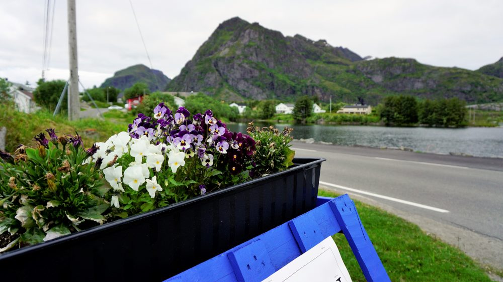 The Lofoten Islands Norway - flowers 2